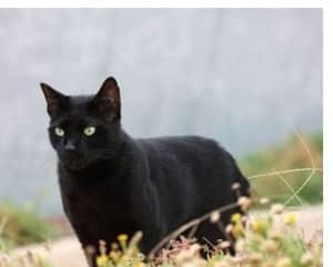 Schwarze Katzen bringen kein Unglück