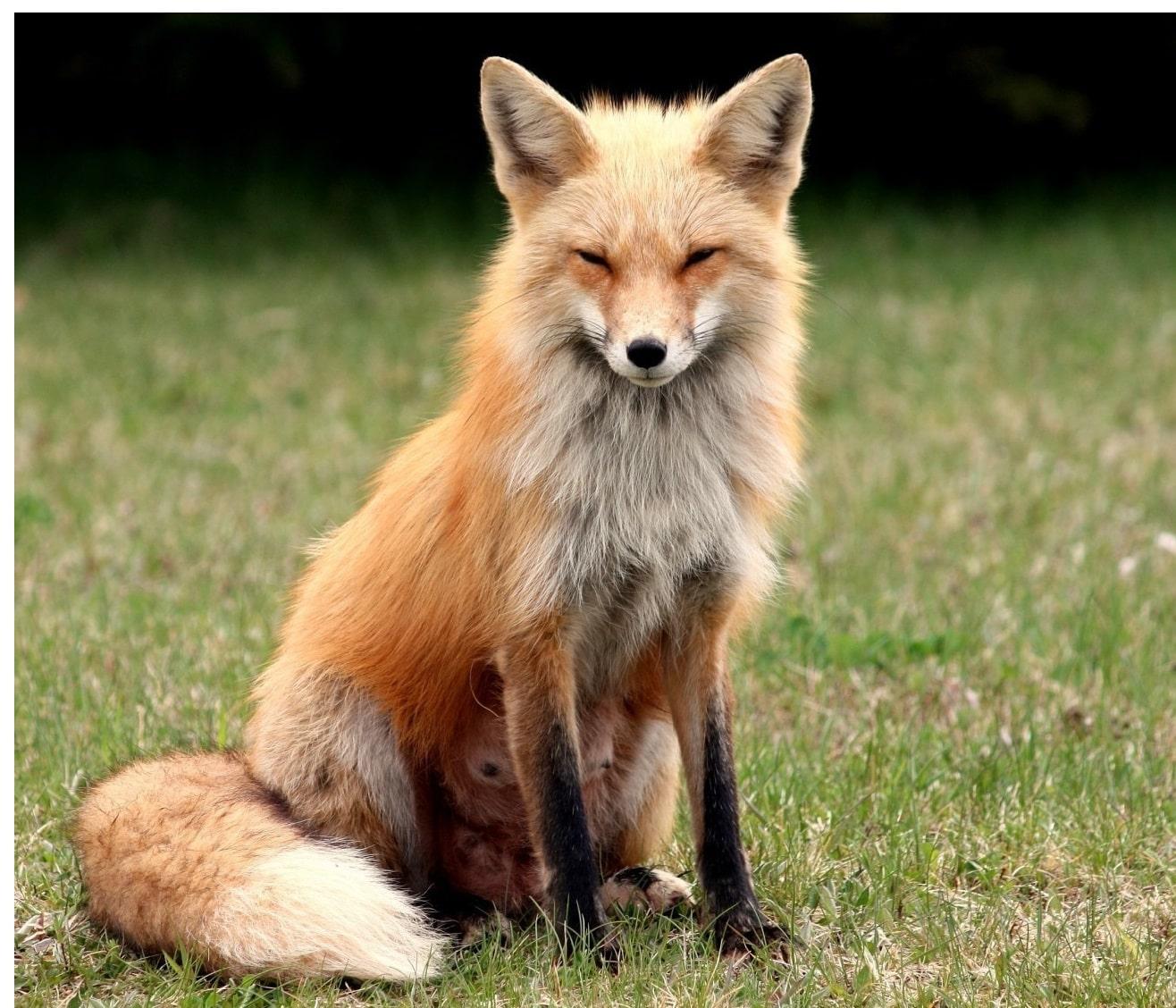 Fuchs - Krafttier